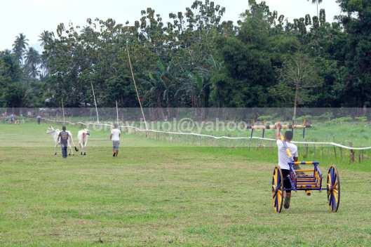 MENUJU GARIS START - Roda dan sapi dibawa menuju garis start sesuai dengan nomor jarak yang diikuti.