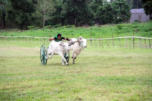BERAKSI - Salah satu peserta balapan memacu pasangan sapi yang dikendalikannya.