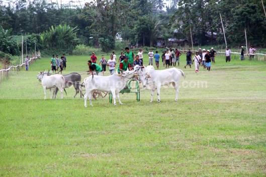 KACAU - Berbeda dengan pacuan kuda yang dilepas dengan system gate, balapan roda sapi dilepas tanpa gate, sehingga kadang kala terjadi kekacuan selepas start.