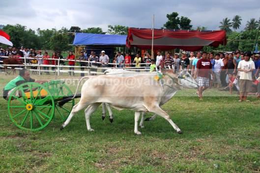 TAK TERKENDALI - Terkadang sapi tidak bisa dikendalikan oleh Jokinya, sehingga walau sudah mencapai garis finis, tetap saja berlari.