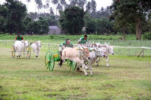 PACU - Joki yang harus ditimbang berat badannya itu, memacu pasangan sapi untuk menjadi yang tercepat di lintasan