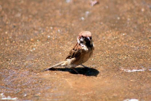 Burung_mandi-02