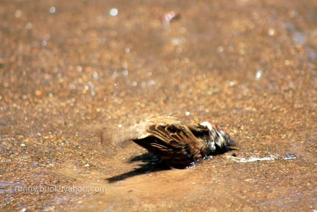 Burung_mandi-03