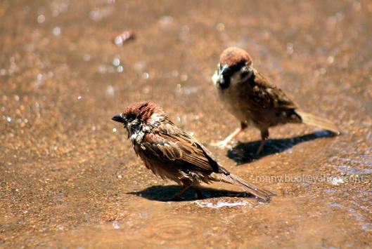 Burung_mandi-04