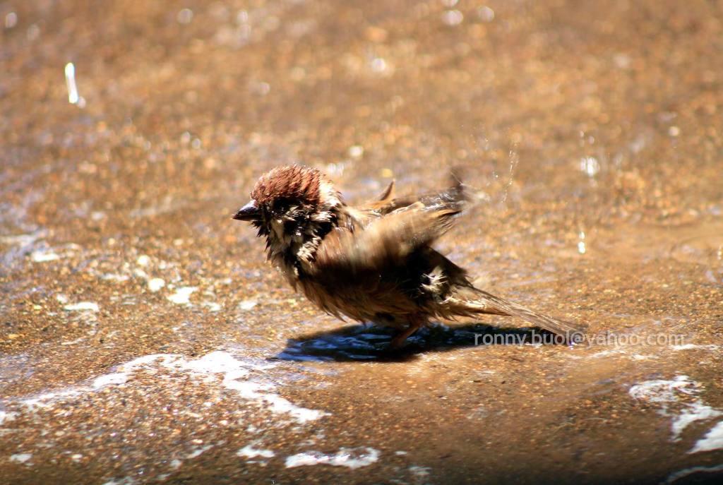 Burung_mandi-05