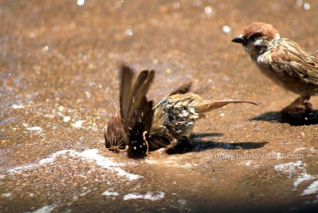 Burung_mandi-06
