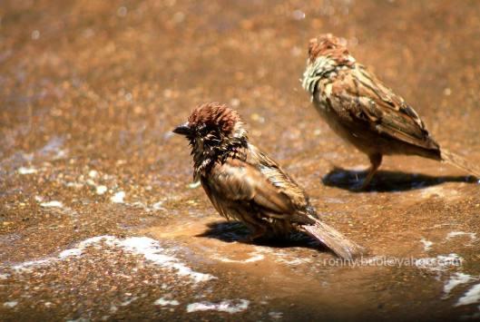Burung_mandi-07