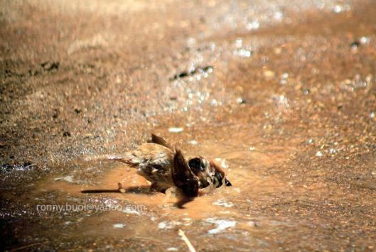 Burung_mandi-08